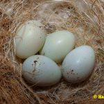 schwarzbrustzeisig-Eier-6-Tage-bebrütet (Kopie)