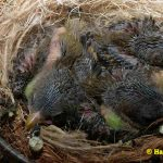 Schwarzbrustzeisig-Jungtiere-10-Tage-alt