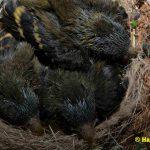 Schwarzbrustzeisig-Jungtiere-13-Tage-alt