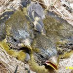 Schwarzbrustzeisig-Jungtiere-14-Tage-alt