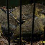 Schwarzbrustzeisig-Jungtiere-15-Tage-alt
