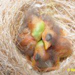 Schwarzbrustzeisig-Jungtiere-2-Tage-alt