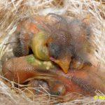 Schwarzbrustzeisig-Jungtiere-4-Tage-alt