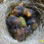 Schwarzbrustzeisig-Jungtiere-5-Tage-alt