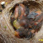 Schwarzbrustzeisig-Jungtiere-6-Tage-alt