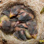 Schwarzbrustzeisig-Jungtiere-7-Tage-alt