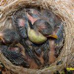 Schwarzbrustzeisig-Jungtiere-8-Tage-alt