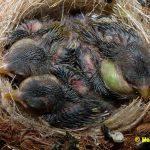Schwarzbrustzeisig-Jungtiere-9-Tage-alt