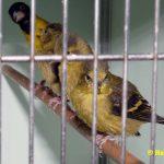 Schwarzbrustzeisig-Jungtiere-ausgeflogen-01