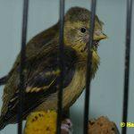 Schwarzbrustzeisig-Jungtiere-frisch-ausgeflogen-002